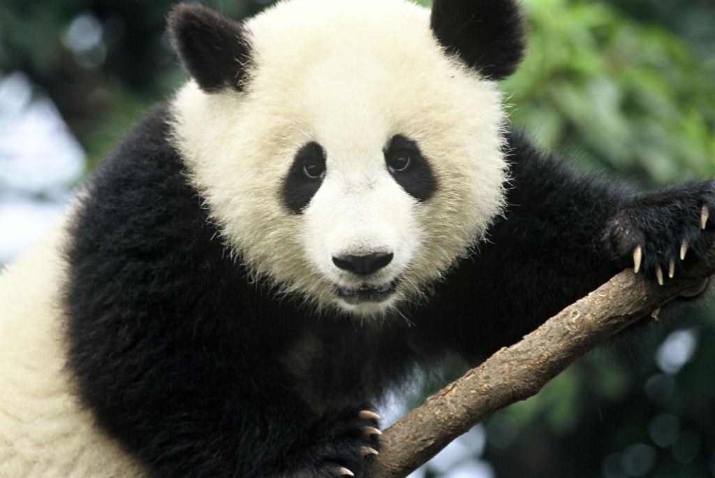 Giant panda (Ailuropoda melanoleuca); Sichuan Province, China